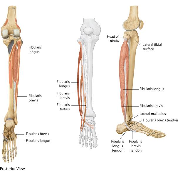 Fibularis Longus Attachments The fibularis longus originates from the ...